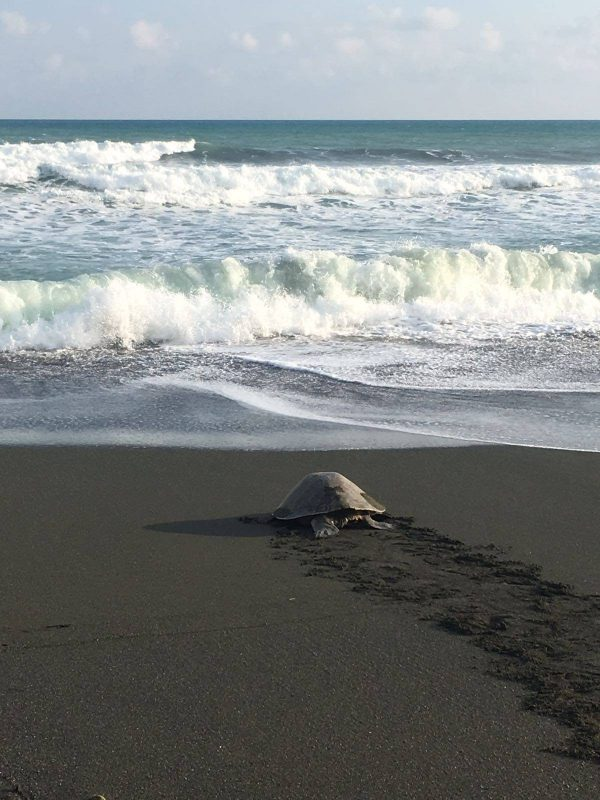 Turtle walking to the sea